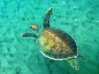 Belle tortue imbriquée