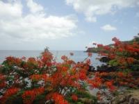 Flamboyant en fleurs